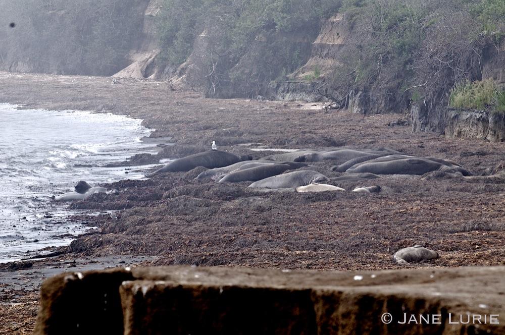 Elephant Seals At Rest, CA