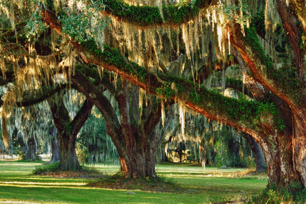 Live Oaks and Spanish Moss, Ace Basin, SC