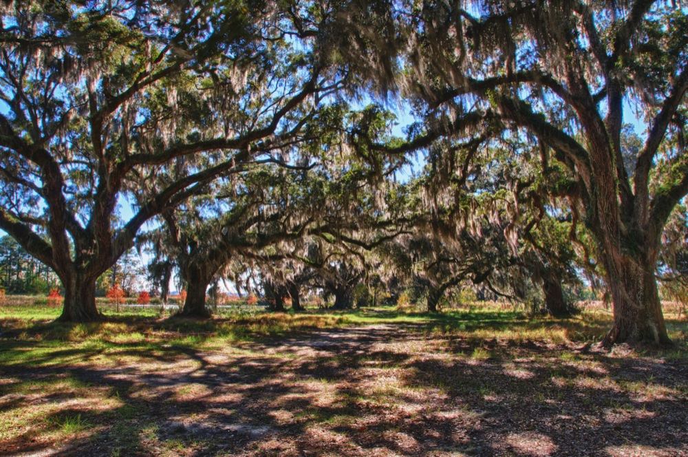 Live Oak Grove, Ace Basin, SC