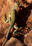 Lizard and Her Spots, New Mexico