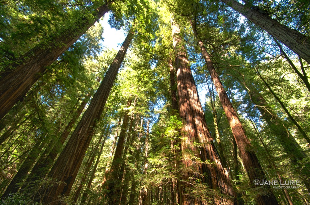 Redwoods, Armstrong State Park, CA