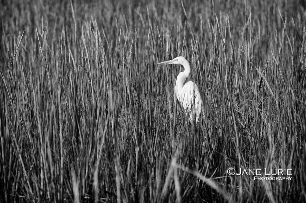 Egret and Marsh Grasses, Kiawah