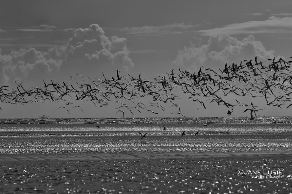 Skimmers in Flight, Kiawah Island