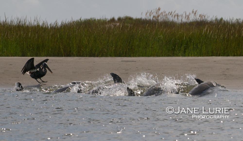 Dolphins Strand Feeding on Kiawah