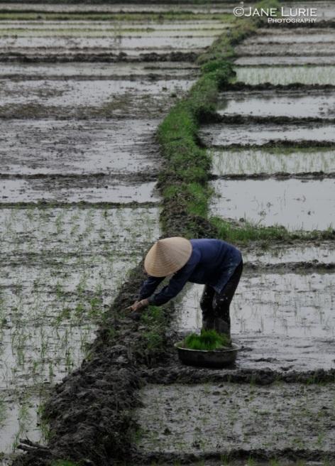 Tending the Rice Paddies, Hanoi