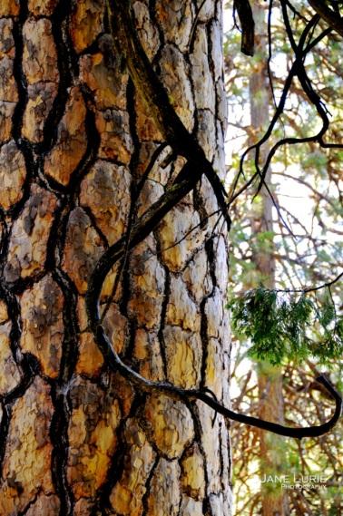 Mighty Pine, Yosemite, CA