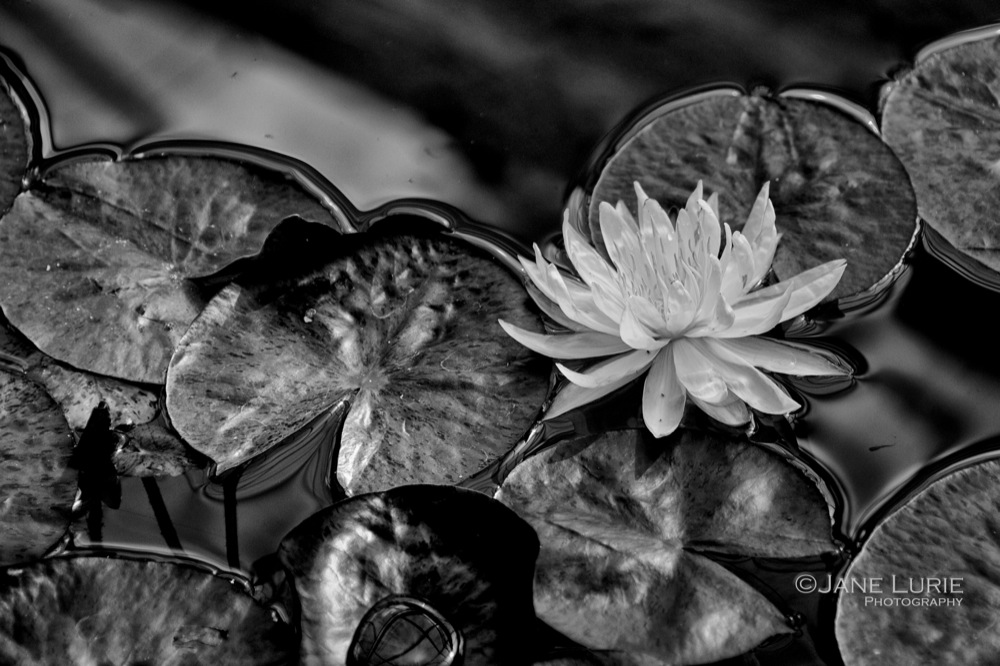 Water Lily, Thailand