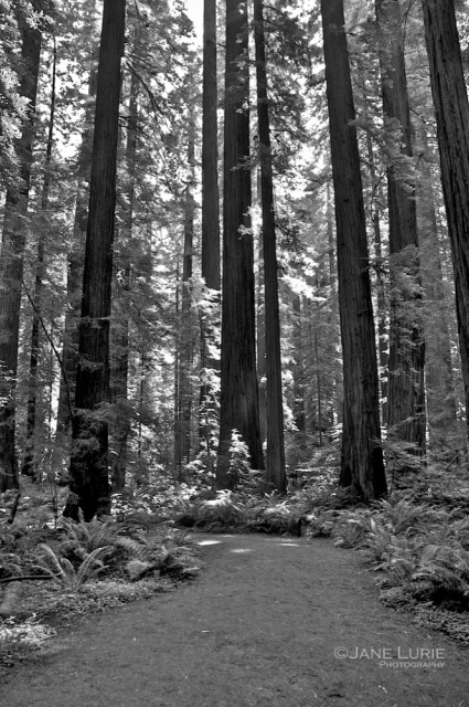 All is Calm, Armstrong Redwoods, CA