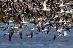 Black Skimmers in Flight, Kiawah Island, SC