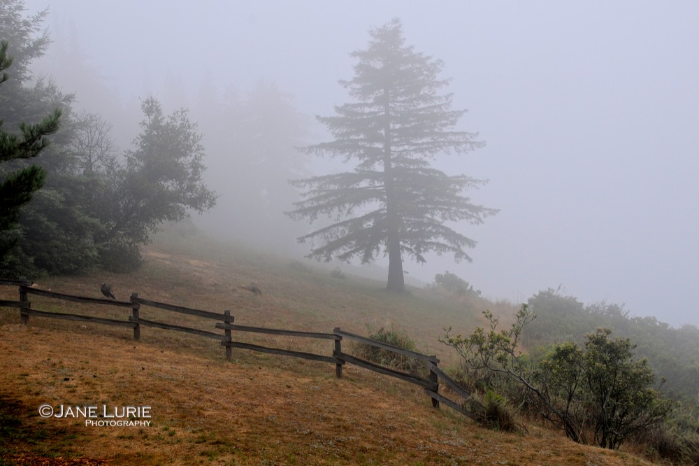 Pine and Fence, Big Sur