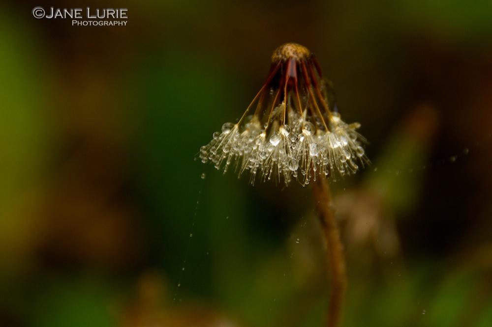 Laden Milkweed
