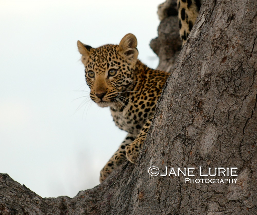Posing Cub, Botswana