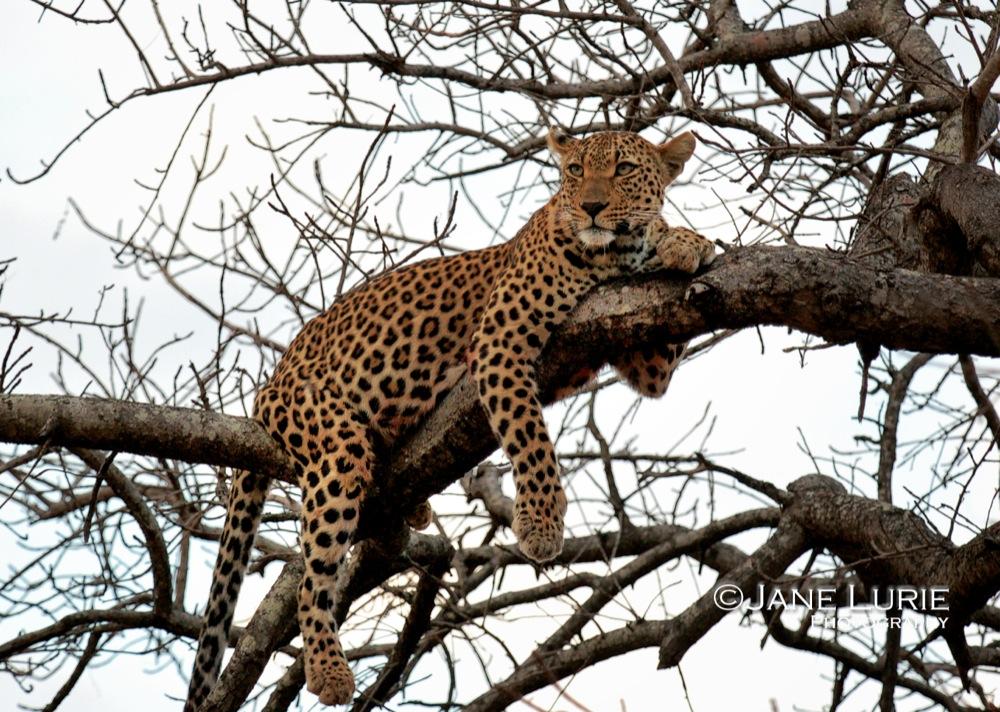 Lounging Leopard, Botswana