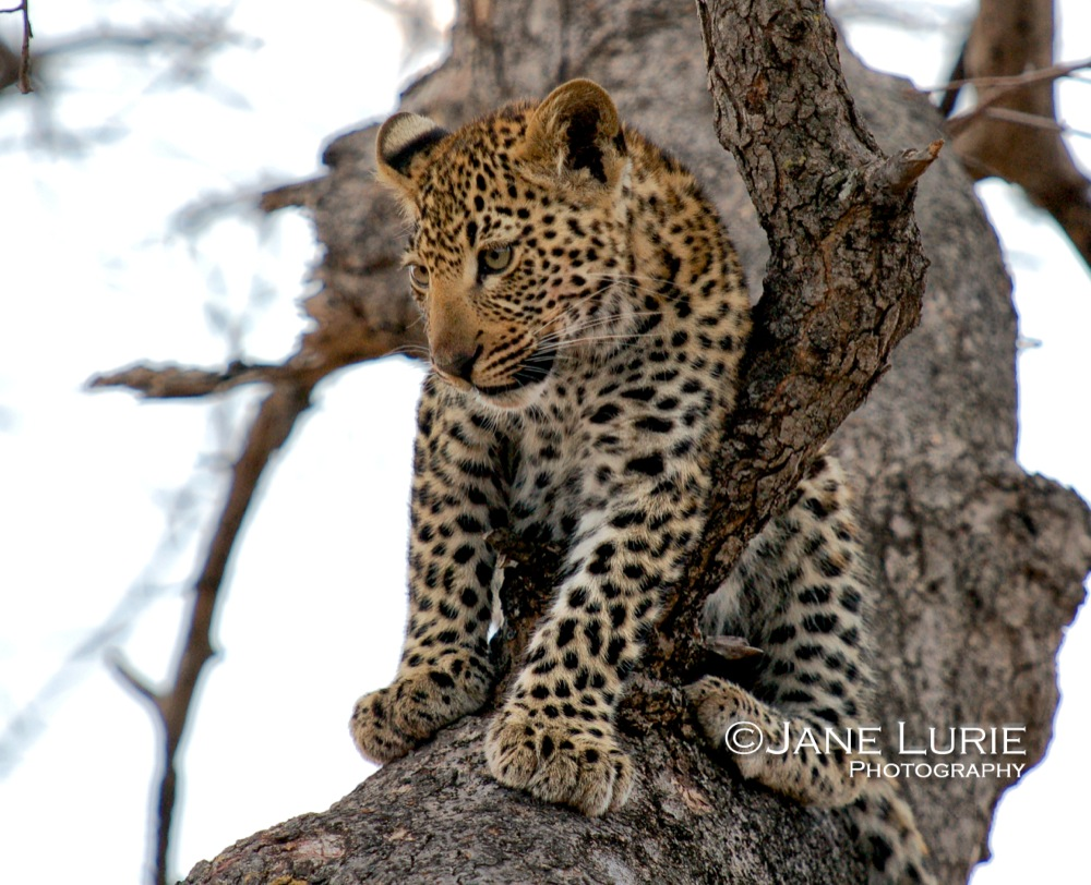 Leopard Cub Relaxing, Botswana