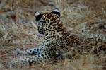 I'm All Ears, Leopard Cub