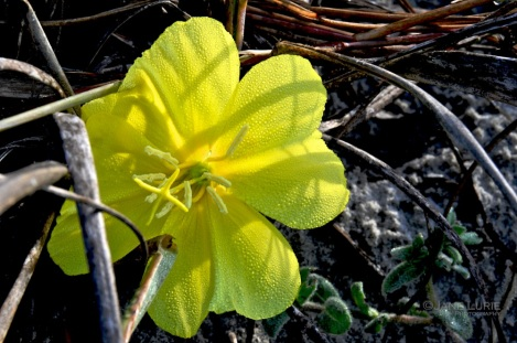 Beach Flower, Kiawah