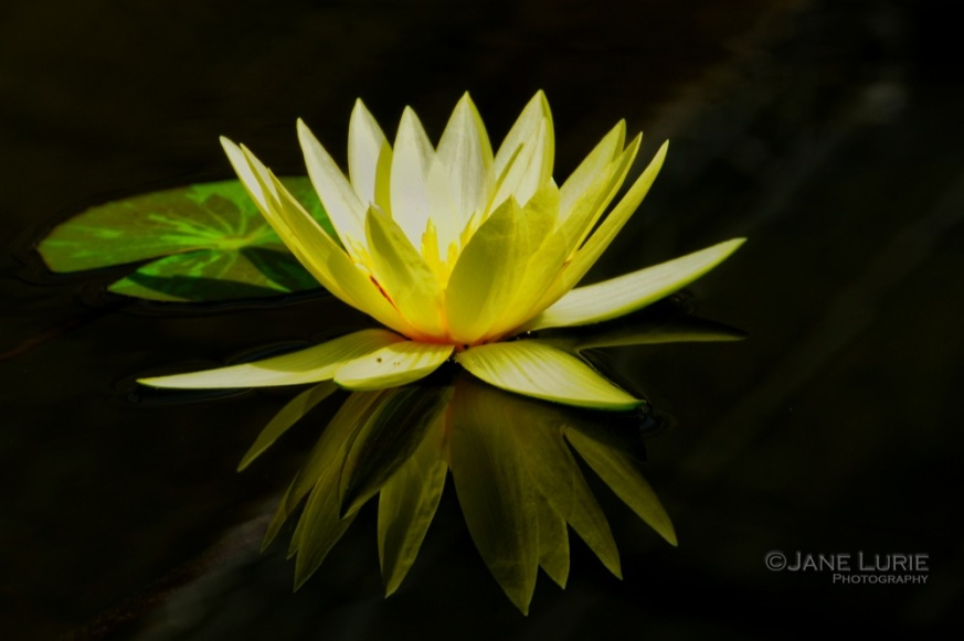 Lily Reflections, Thailand