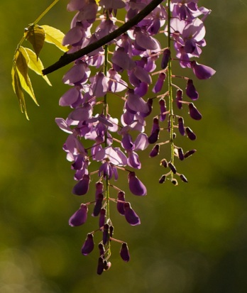 Wysteria in Morning, Magnolia Swamp, SC