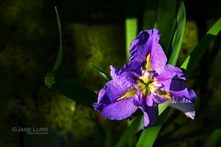 Purple Iris, Magnolia Swamp, SC