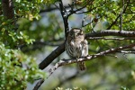 Curious Owl, Patagonia