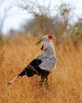 Secretary Bird, South Africa