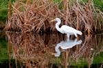 Egret Fishing, South Carolina