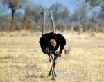 Two Headed Ostrich, Botswana