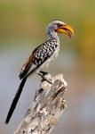 Southern Yellow-billed Hornbill, Botswana