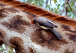 Red-billed Oxpecker, Botswana