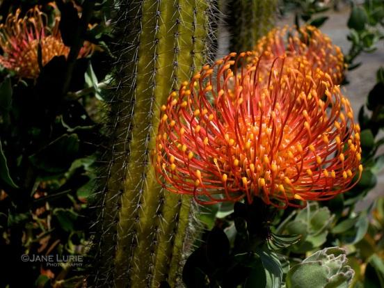 Cactus Flower, Big Sur