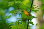 Prothonotary Warbler, Magnolia Swamp, SC