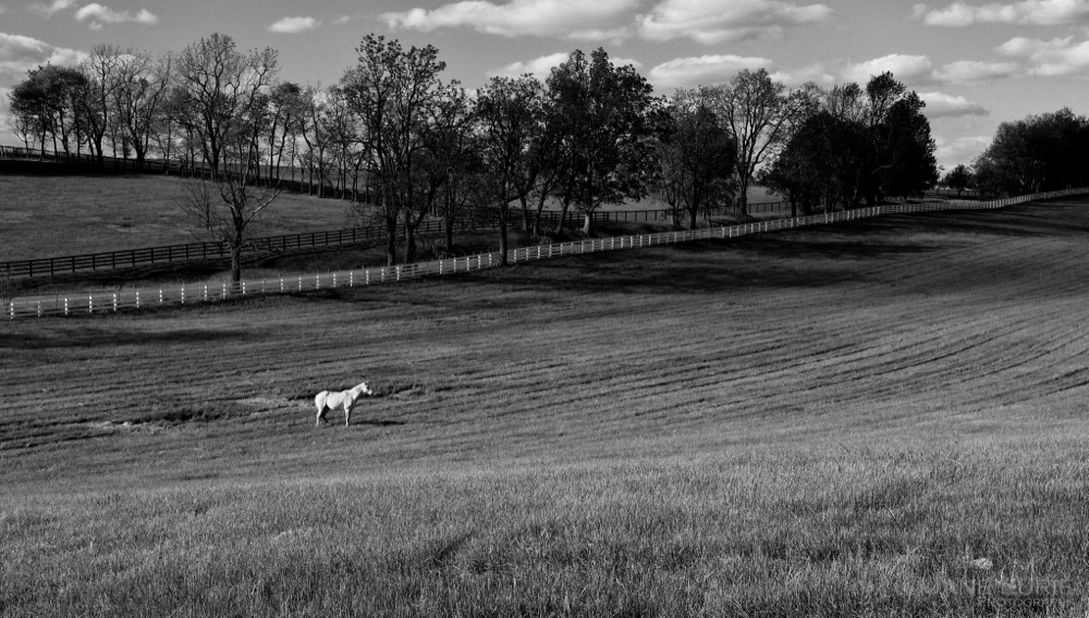 White Horse in Field, Lexington, KY