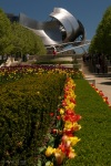 Gehry and Tulips, Chicago