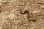 Rattlesnake in the Badlands!
