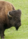 Just Another Cute Face, Bison, Yellowstone