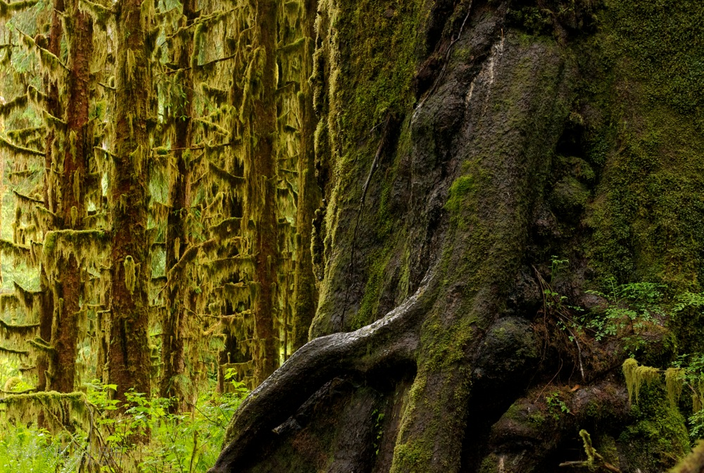 Roots and Trunks, Hoh Rainforest