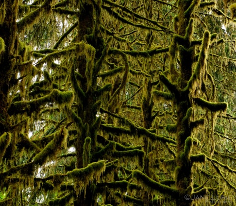Moss and Branches, Hoh Rainforest