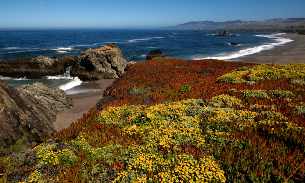 Coastal Flowers, Bodega Bay