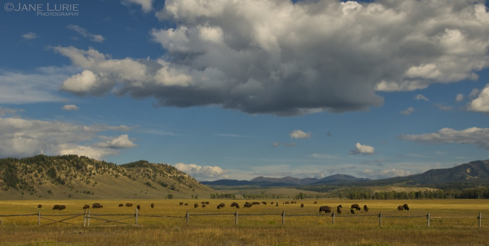 Bison Grazing, Wyoming
