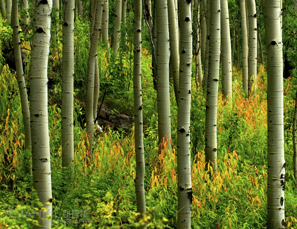 Aspen Grove and Color