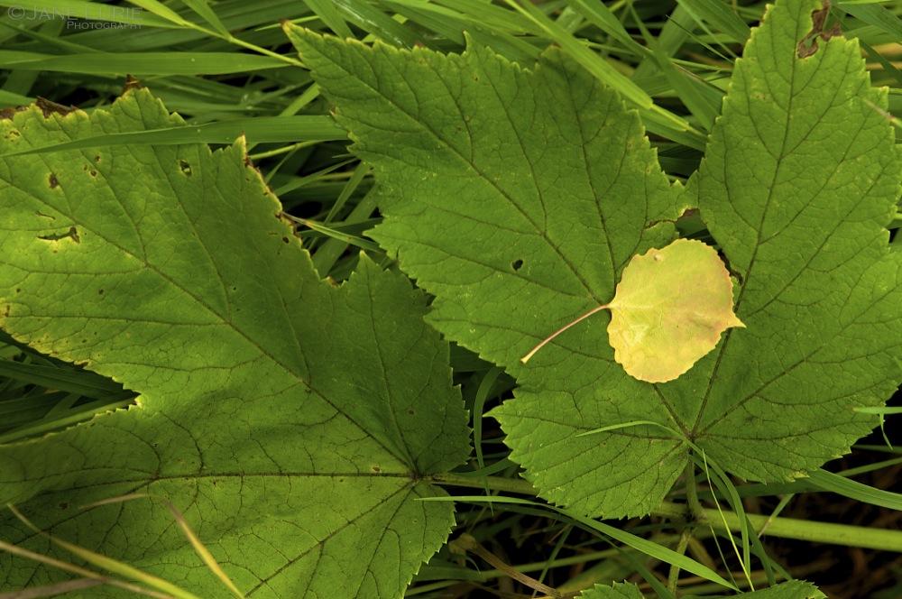 Fallen, Aspen Leaf