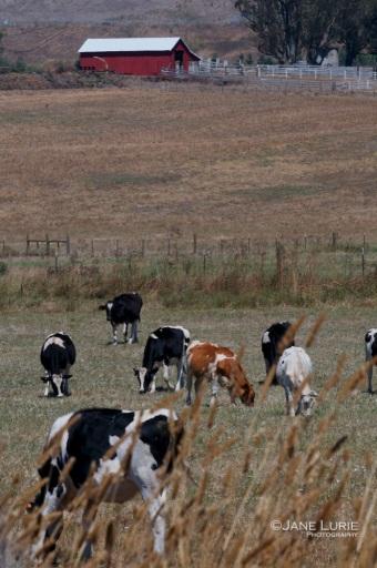 Until the Cows Come Home, Sonoma