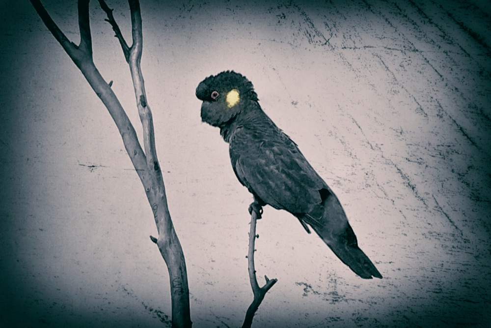 Portrait, Black Cockatoo, Blue Mountains