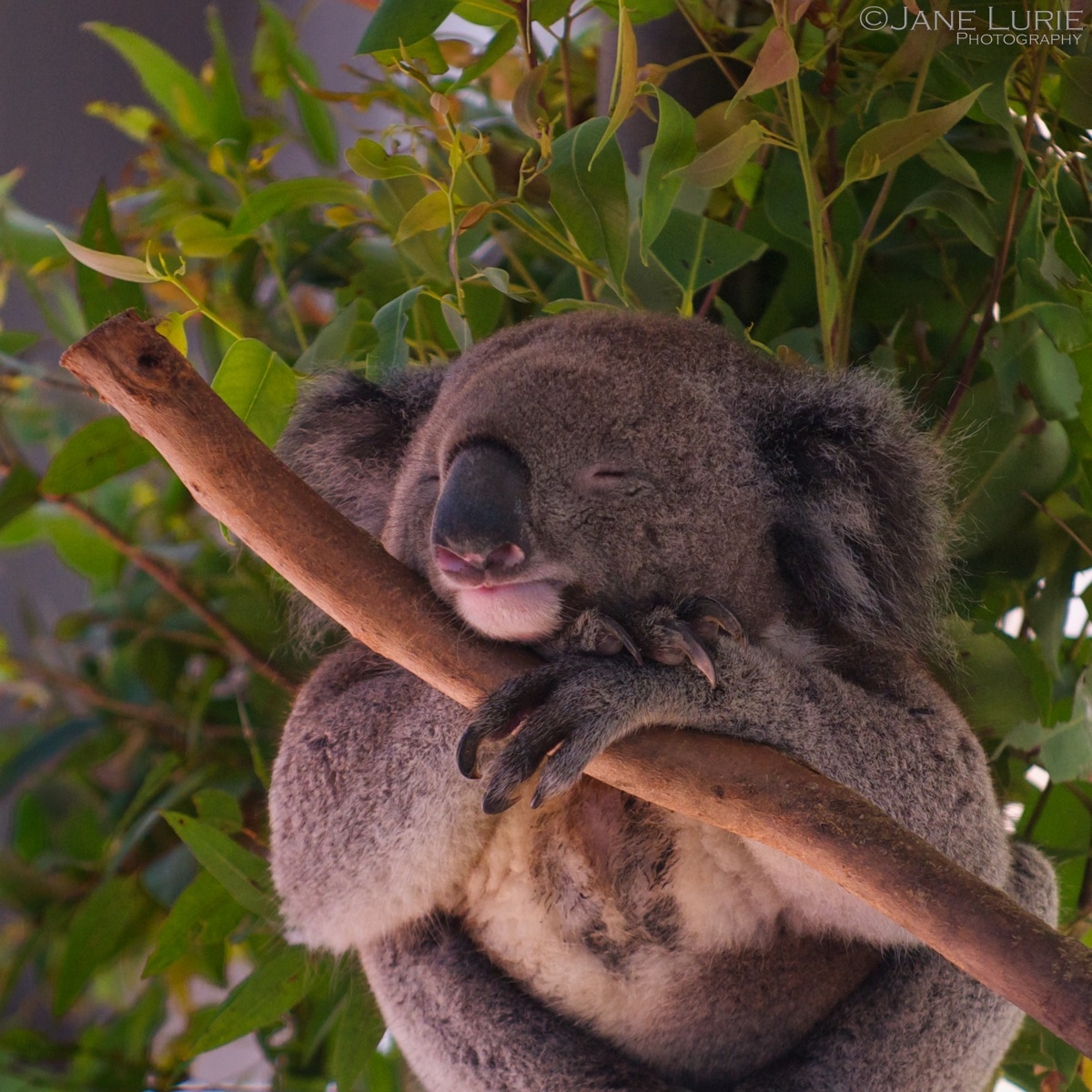 Dreaming of Eucalyptus, Port MacQuarie