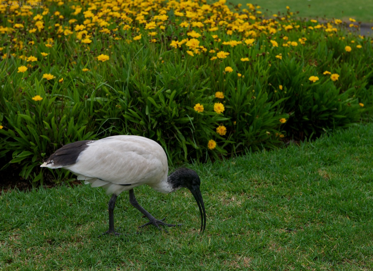 Ibis in Morning, Botanic Garden
