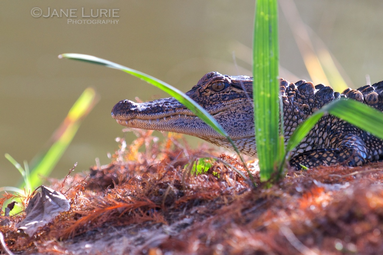 Baby Gator, South Carolina