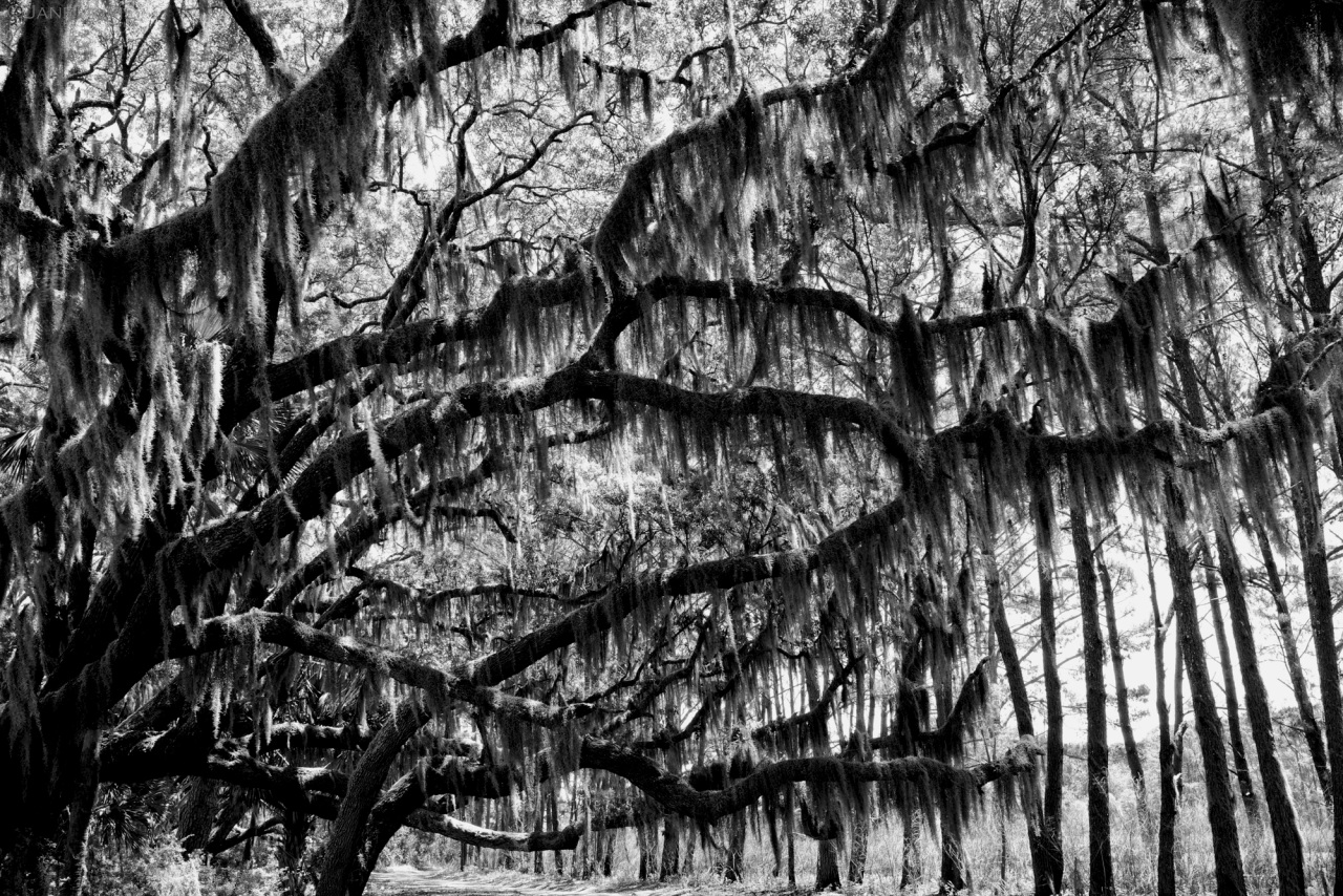 Edisto, Live Oak, Spanish Moss, Nature