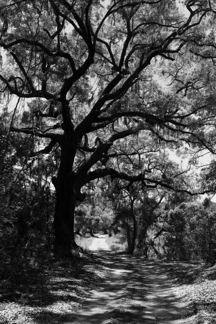 South, Live Oak, Nature, Plantation