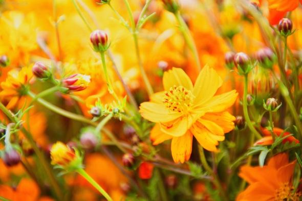 Flowers, Macro, Orange, Yellow,