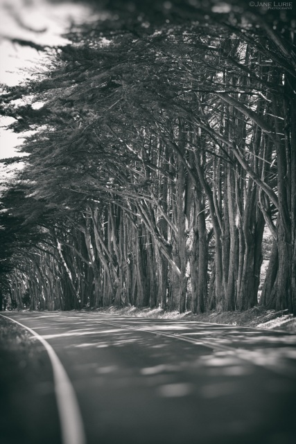 Black and White, Cypress Trees, California, Nature, Landscape Photography